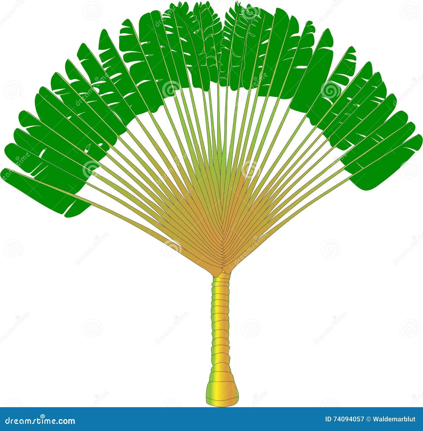 Ravenala dessin de vecteur d 39 un palmier de fan image stock image du conception organique - Dessin de palmier ...