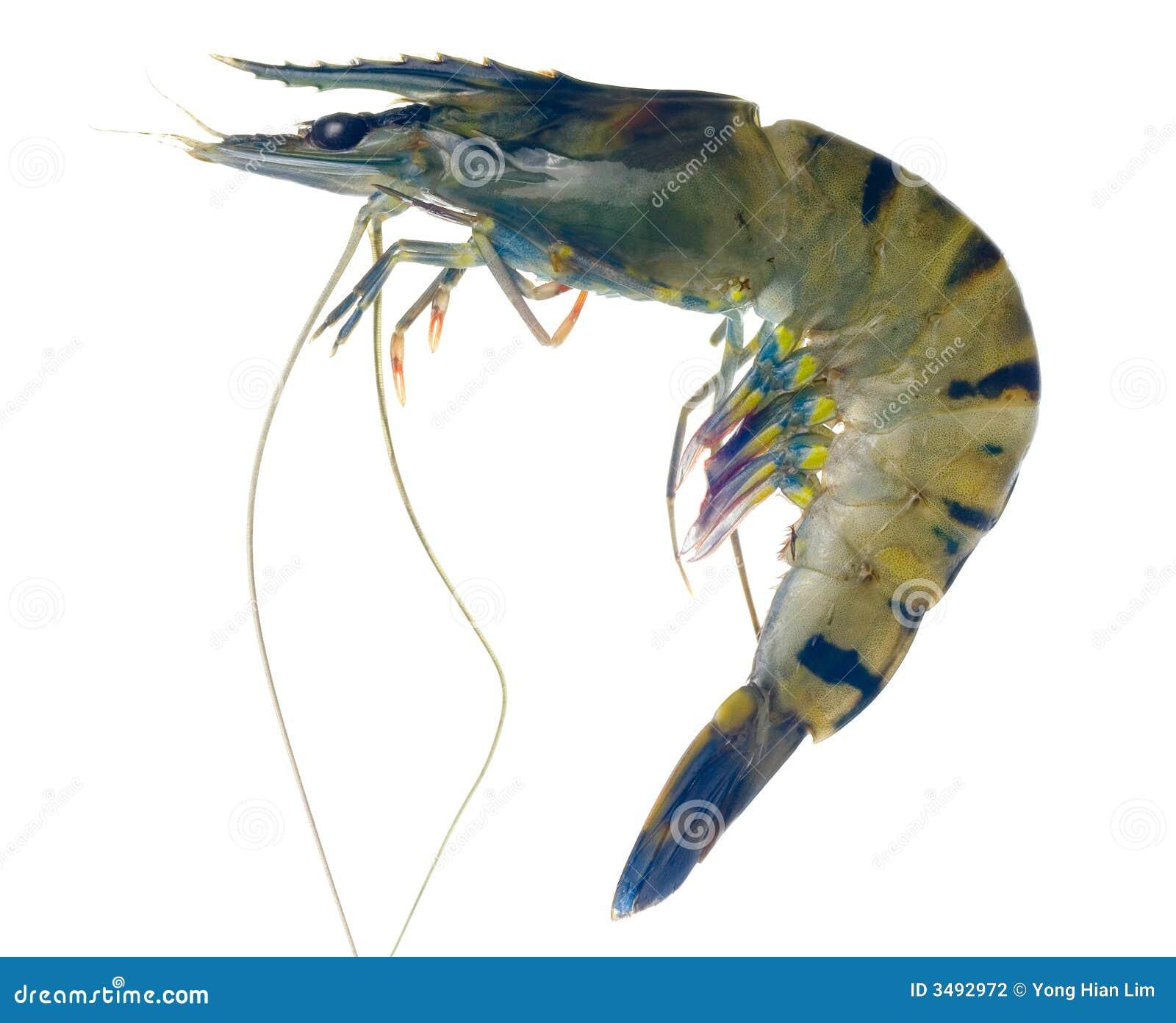 Raw black tiger prawn stock photo. Image of tasty ...