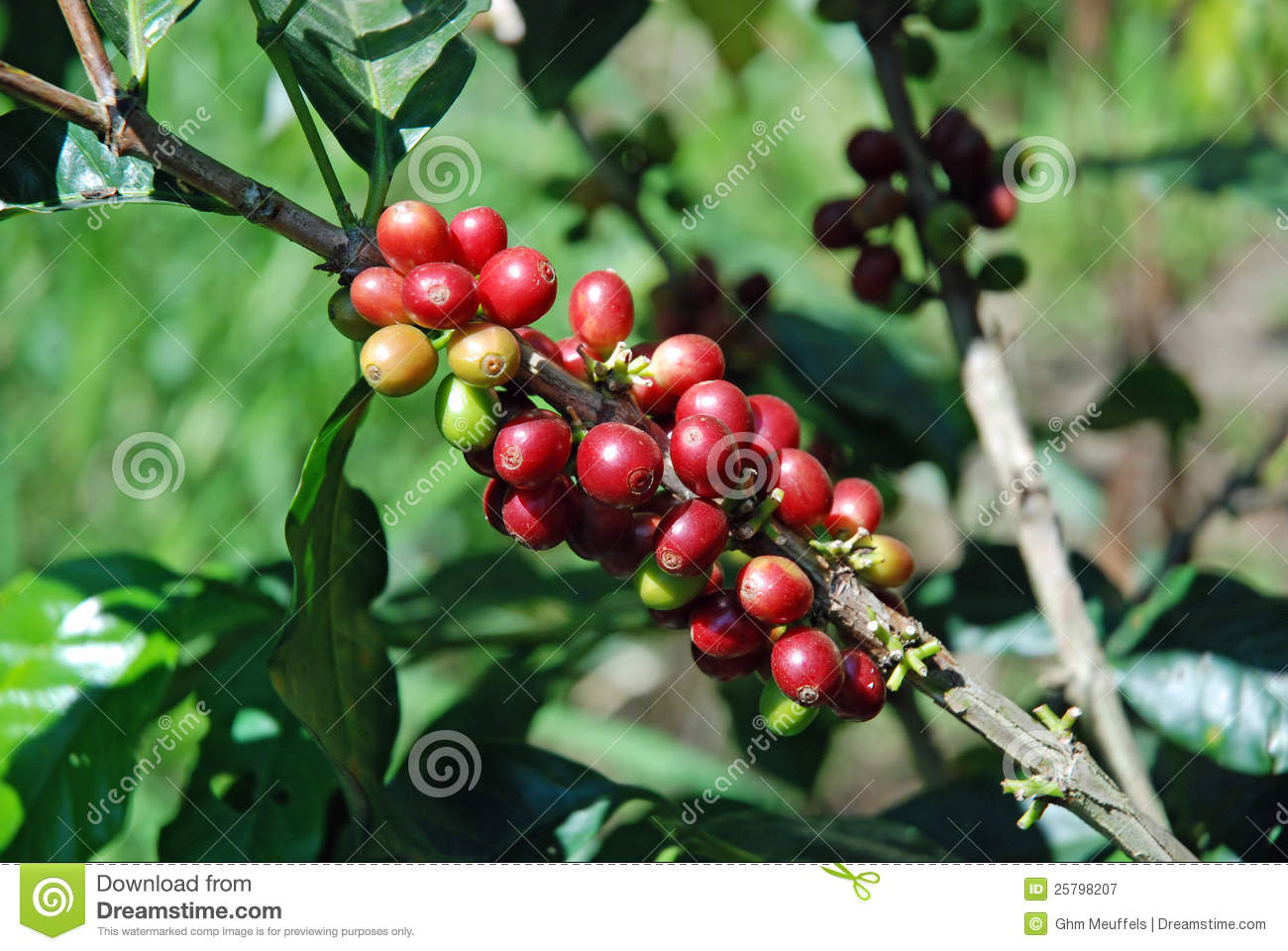 Raw coffee beans to coffee plant