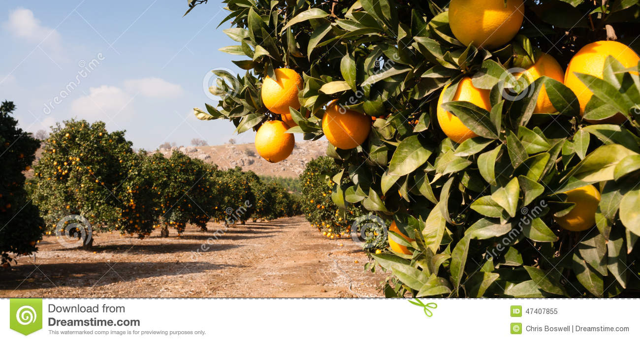 raw food fruit oranges ripening agriculture farm orange oranges clipartr 5 oranges clipart
