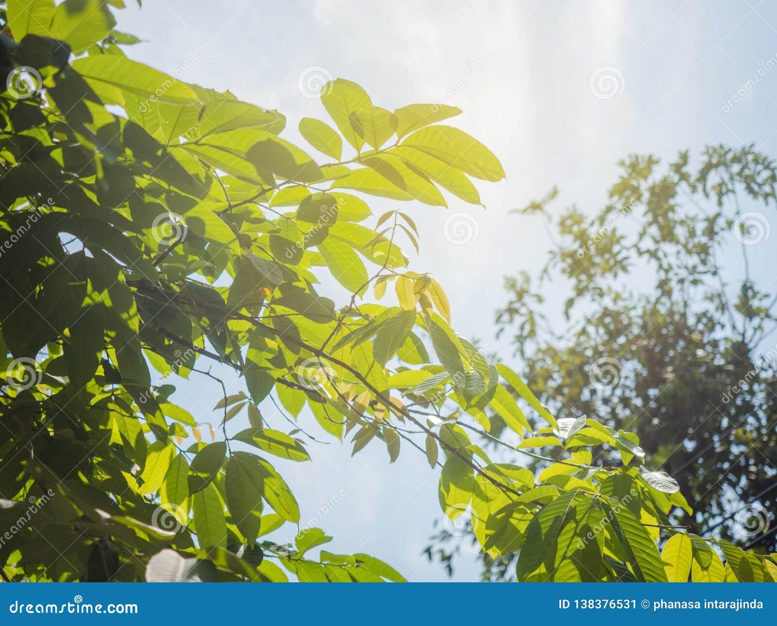 Rayo de Sun con el cielo azul de las nubes y el follaje fresco Verde fresco de la sol que filtra a través de las hojas