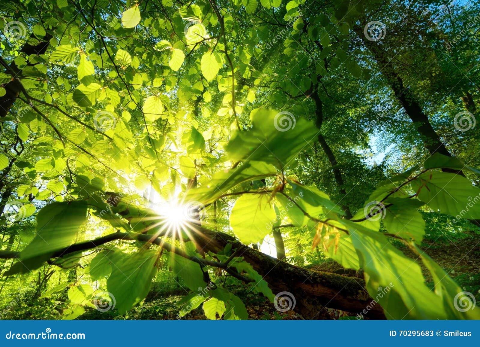 Rayons de lumière du soleil brillant admirablement par les feuilles vertes