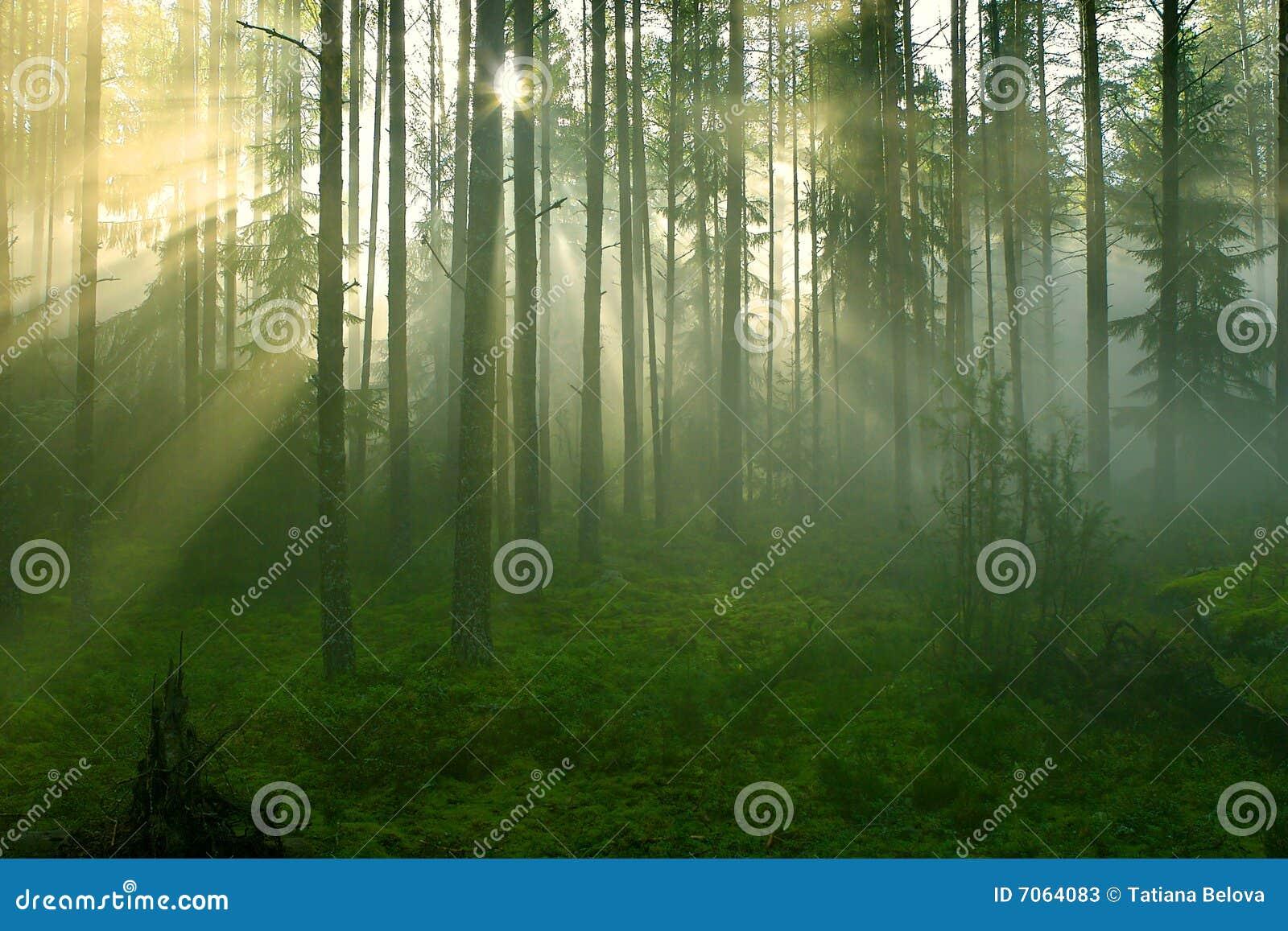 Rayons de Sun dans la forêt.