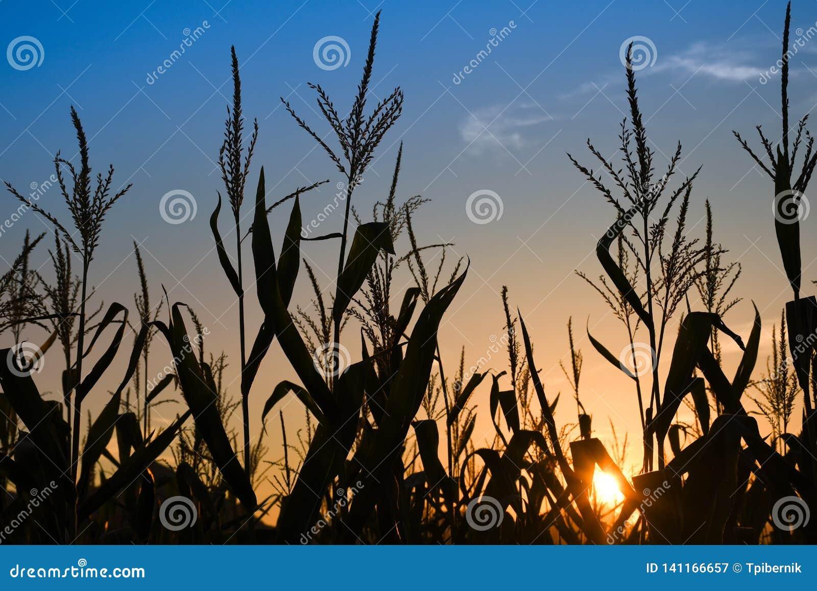 Rayos de la puesta del sol en el campo de maíz con el cielo azul colorido