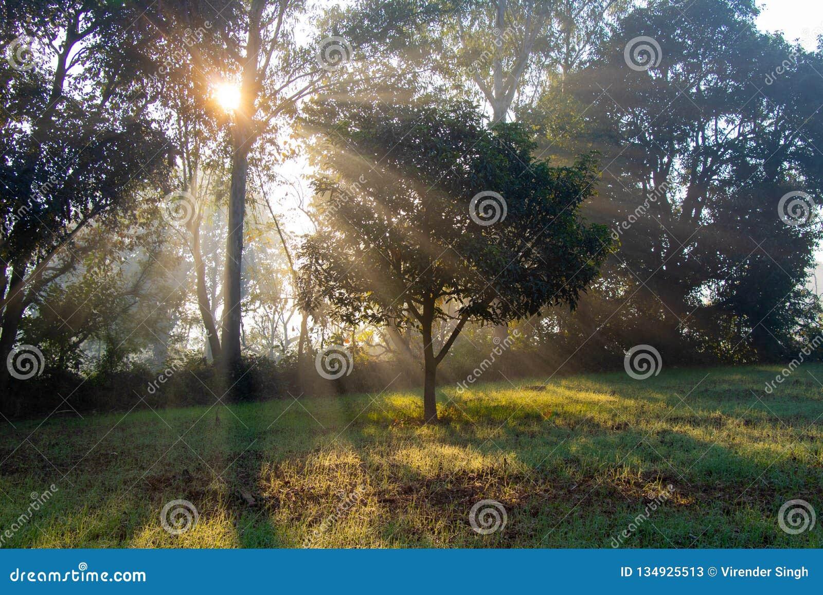 Rayos de levantamiento de Sun a través de los árboles por mañana de la niebla y de la niebla