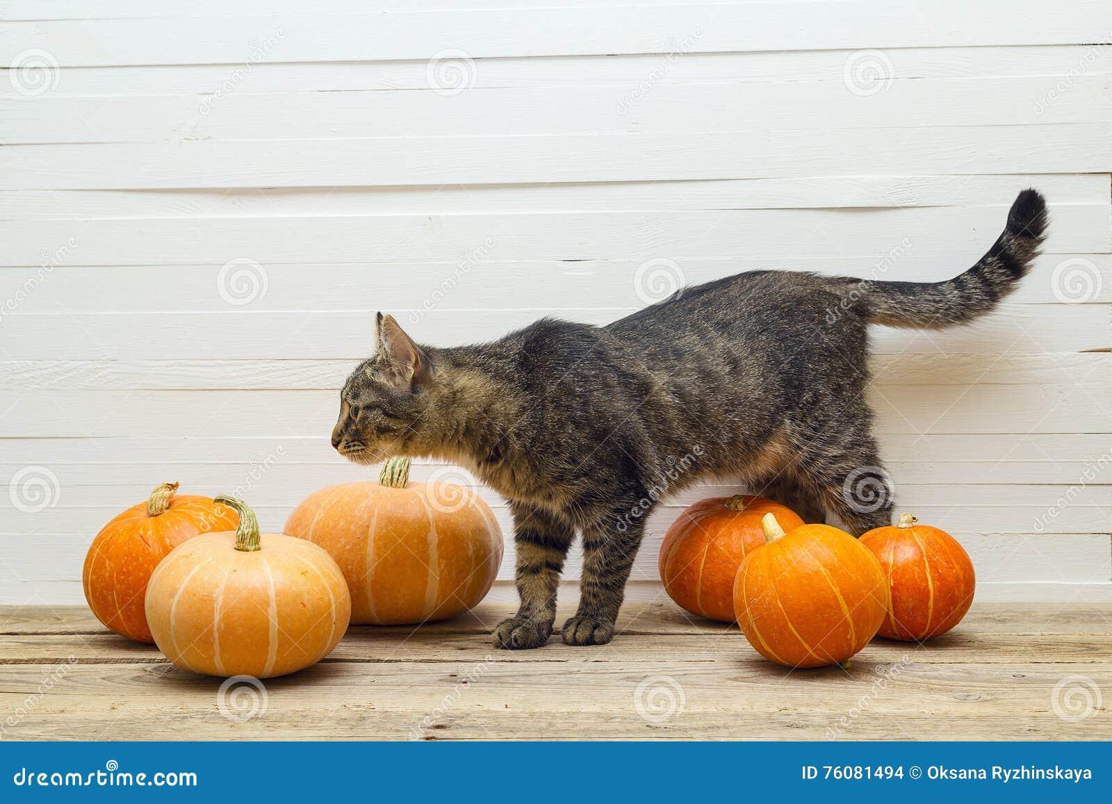 Rayures mignonnes chat et potiron sur une table en bois sur un fond o