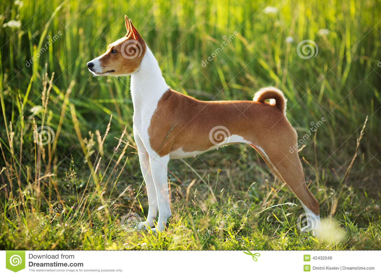 Raza Basenji del perro de caza