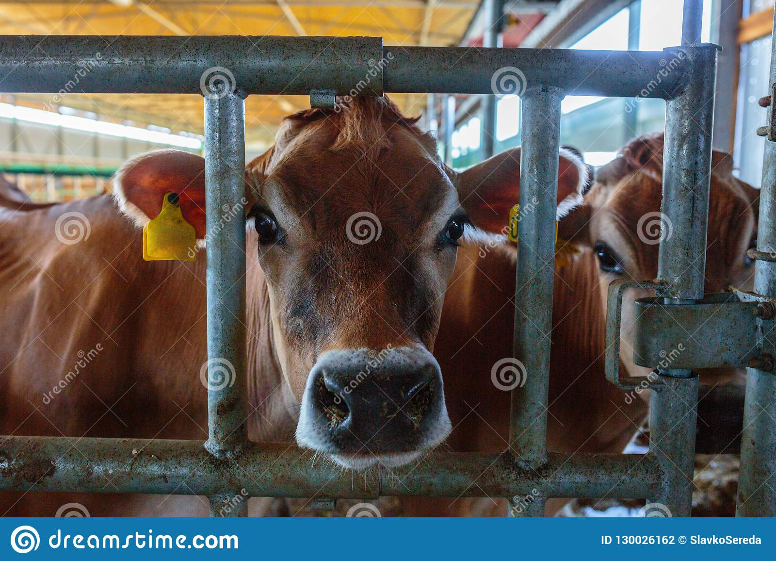 Raza de la lechería de las vacas del jersey que come el forraje del heno en som de la granja del establo