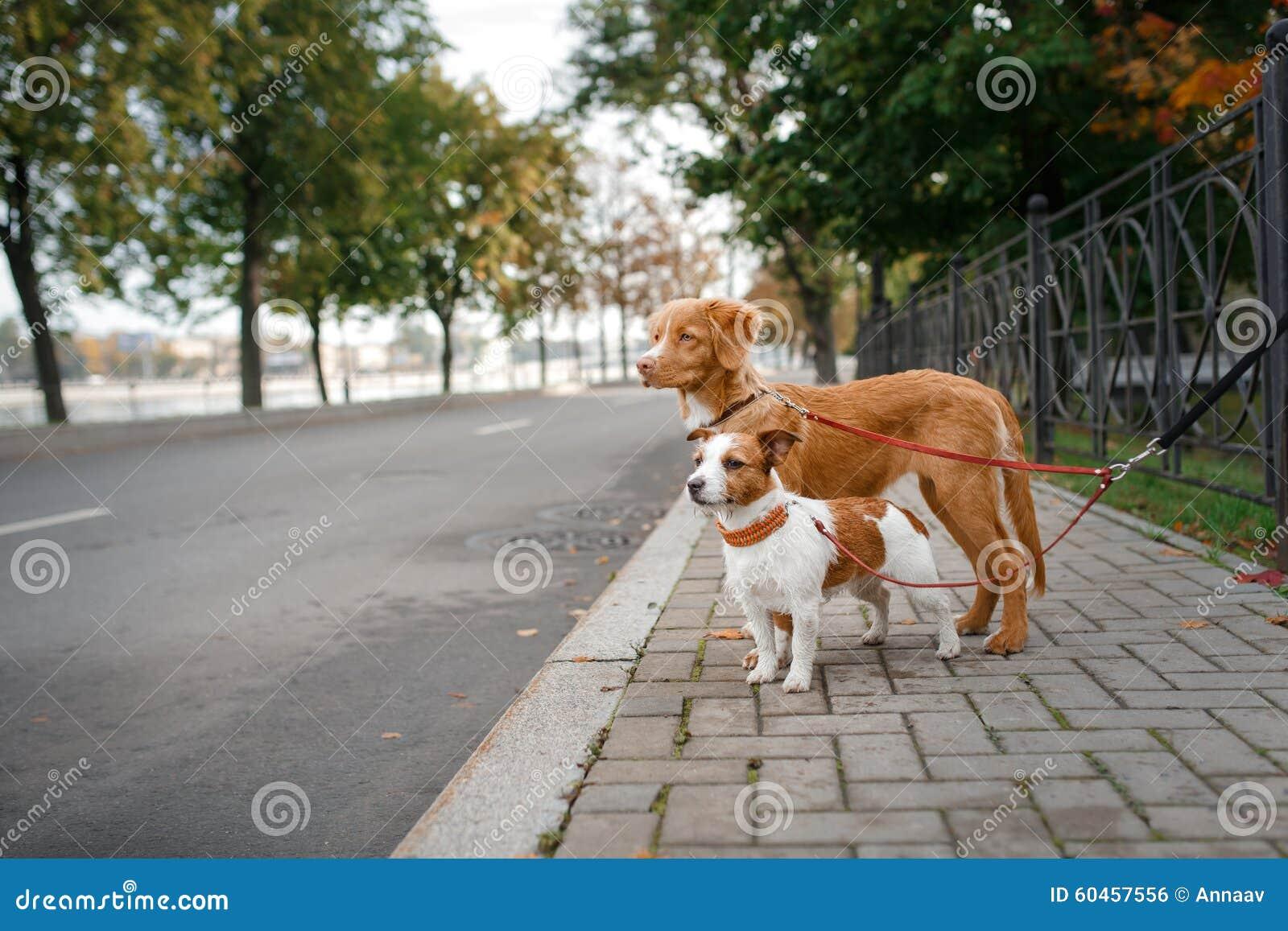 Raza Nova Scotia Duck Tolling Retriever y Jack Russell Terrier del perro