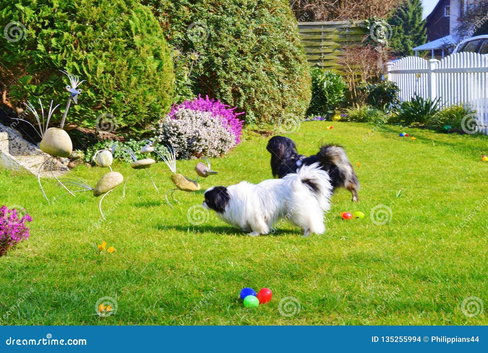Raza pekinesa adorable de los pares, blanca y negra, corta y larga del pelo que juega junto en el jardín, perrito del perro del p
