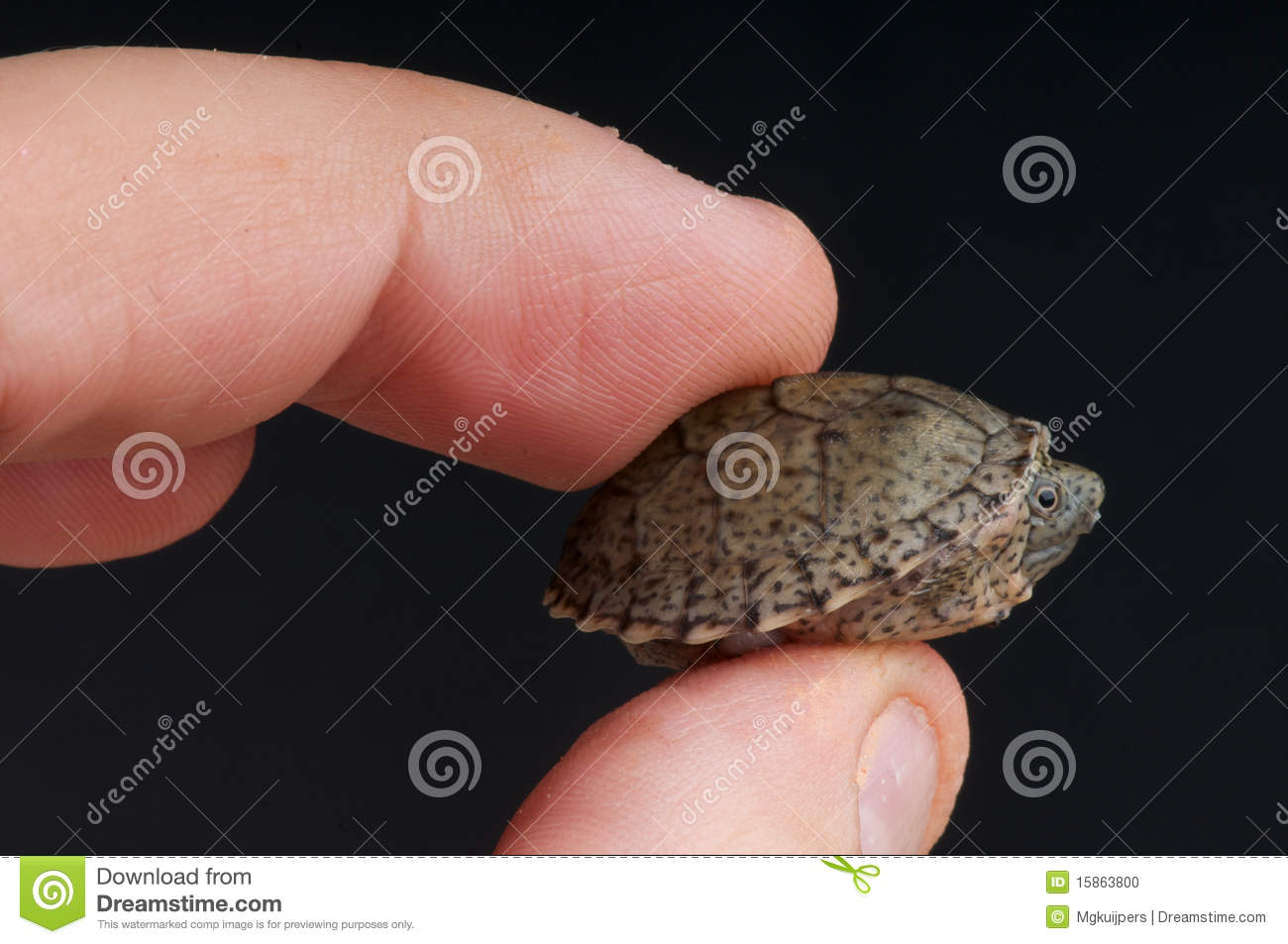 razorback musk turtle stock photo image of pets