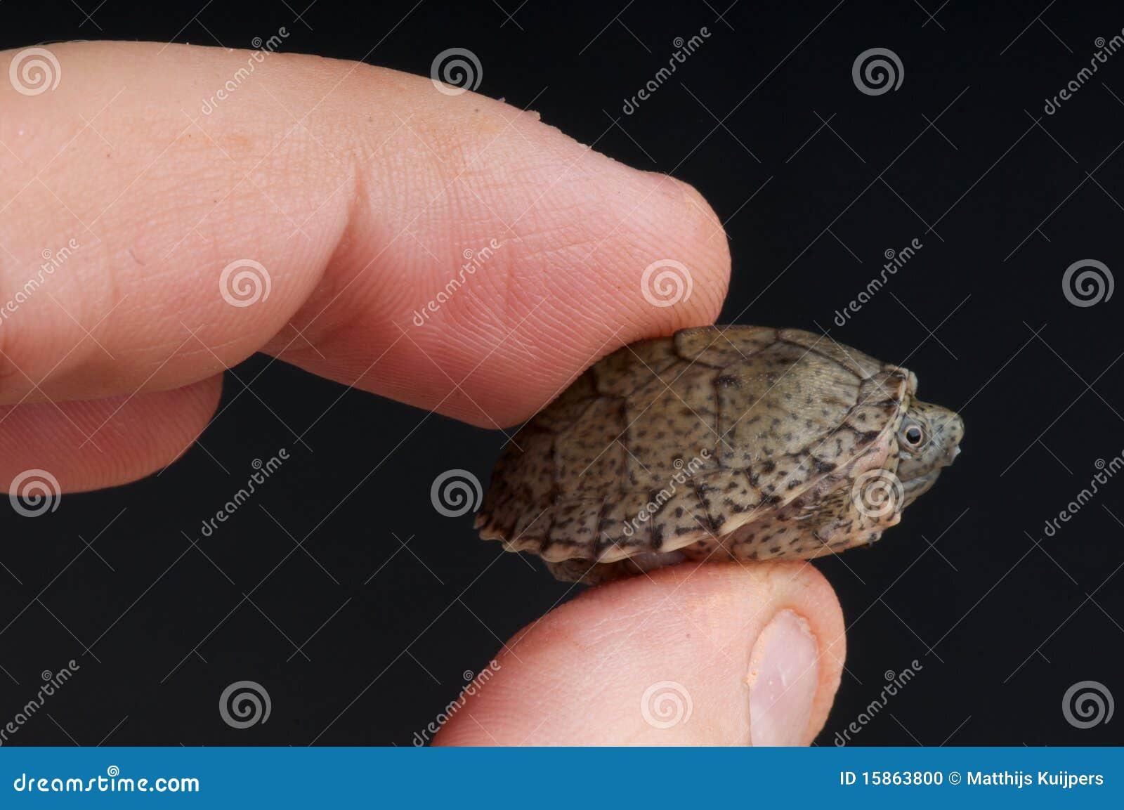 razorback musk turtle stock photo   image 15863800