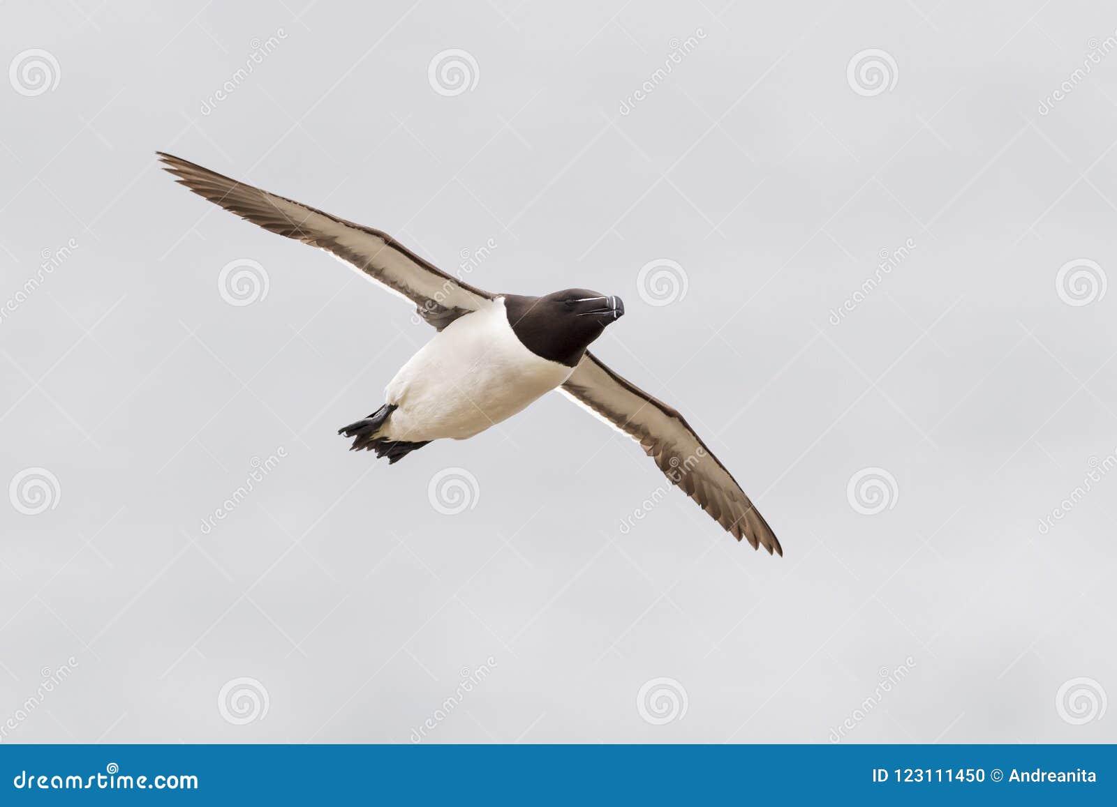 Razorbill Alca torda adult, in flight