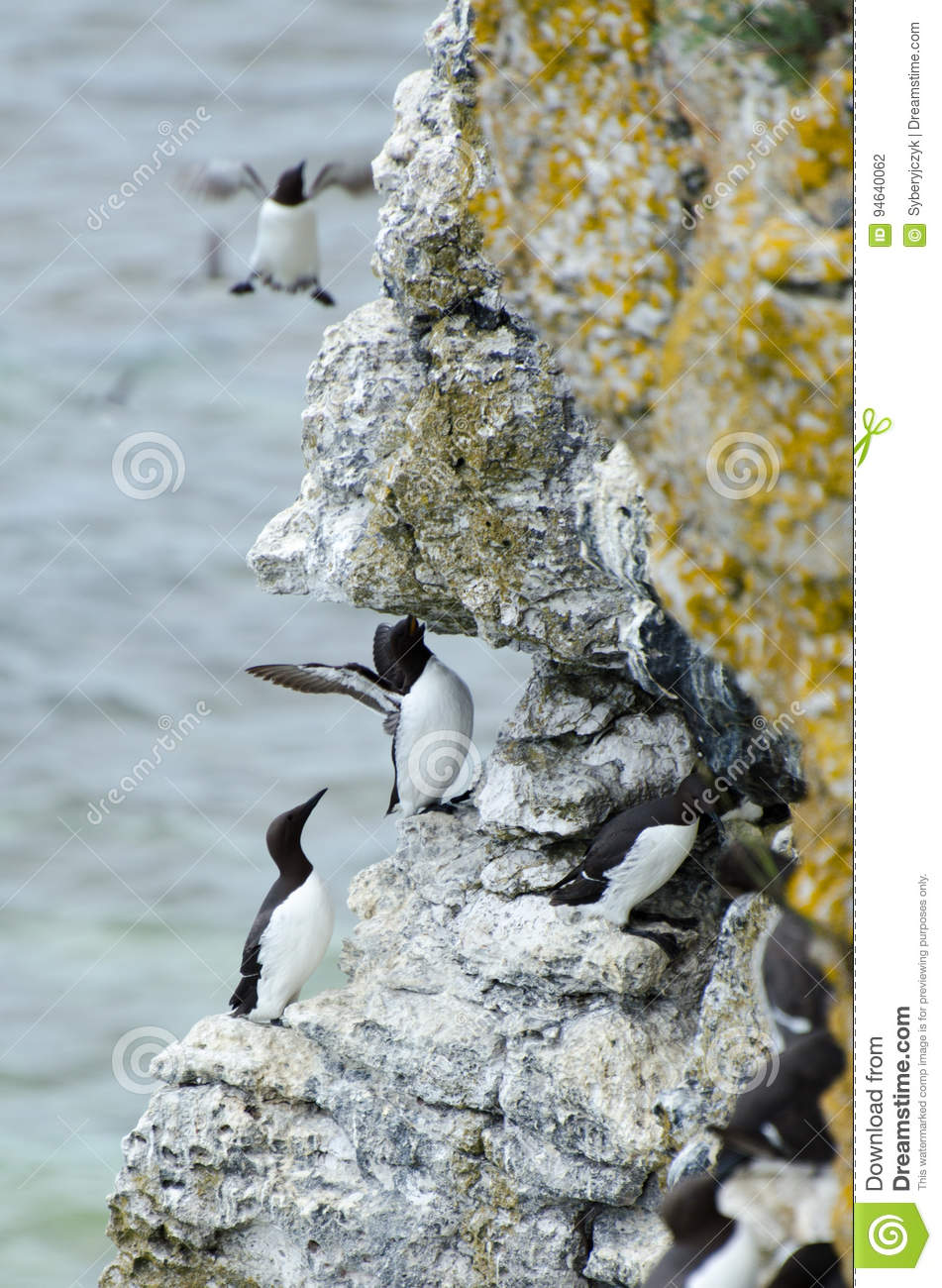The razorbill Alca torda