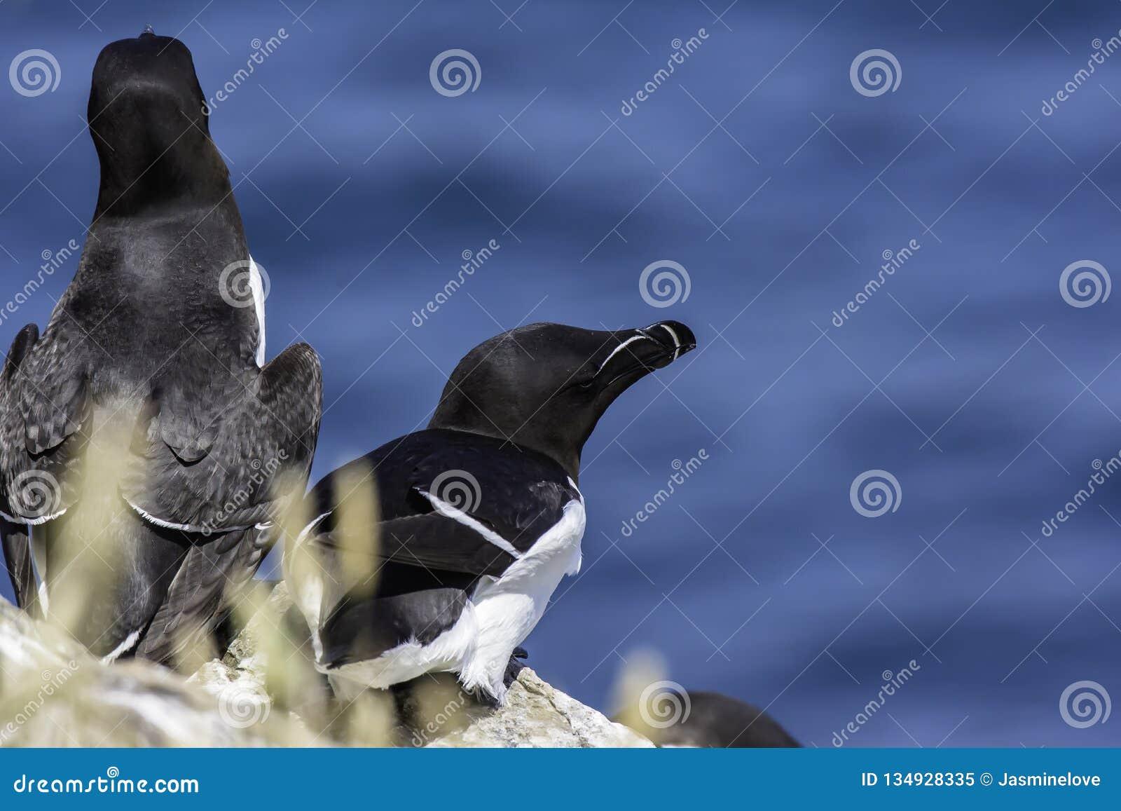 Razorbills nesting one cliff shelve