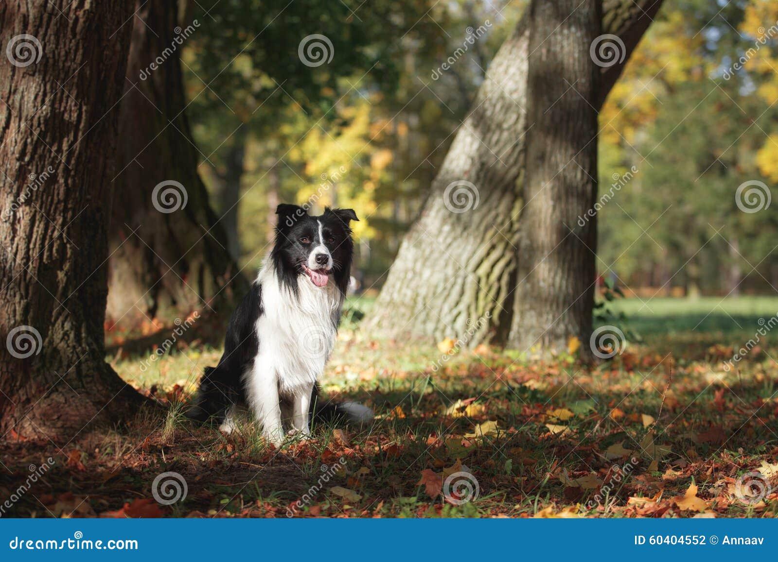 Razza border collie del cane