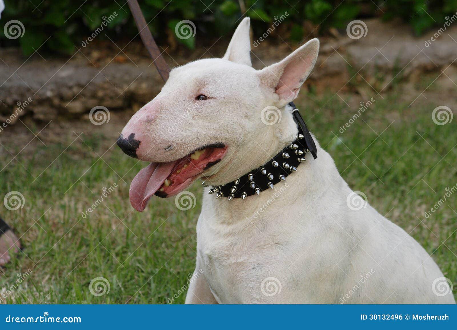Razza del bull terrier del cane di combattimento for Tequila e bonetti cane razza