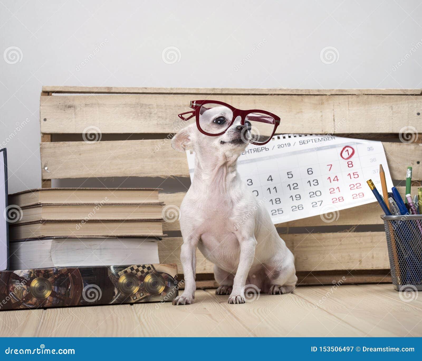 Razza del cane della chihuahua in vetri, fra i libri e con un calendario murale