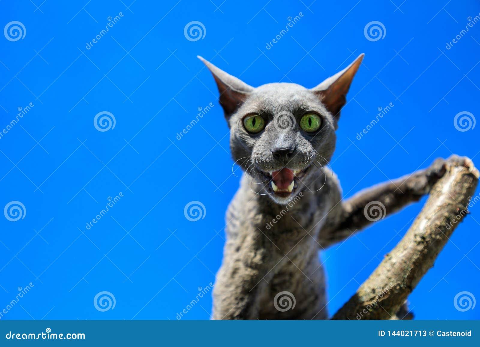 Razza della Cornovaglia del gatto di Rex sul ramo
