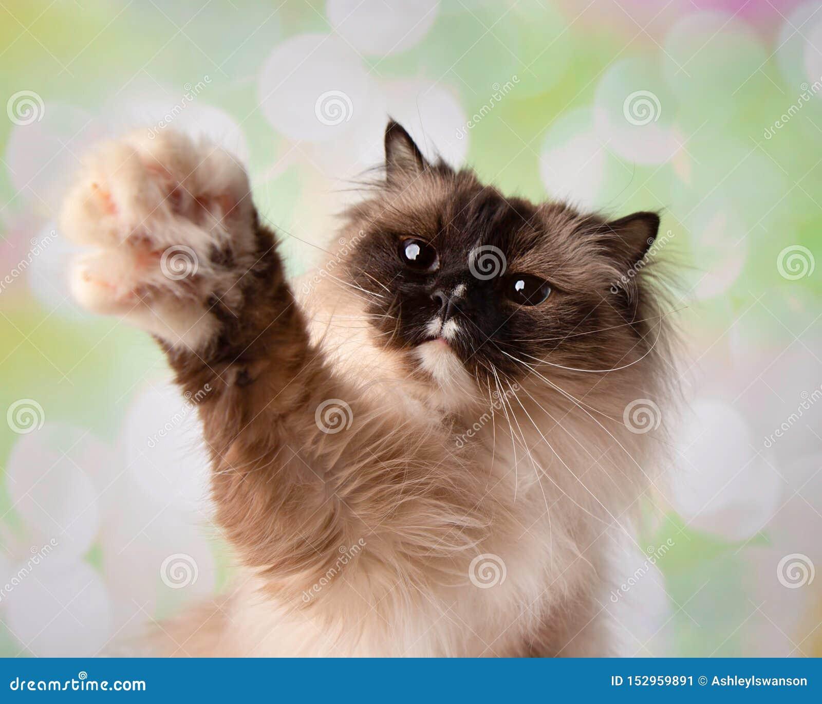 Razza osservata blu Cat Close Up Face di Ragdoll con Paw Up