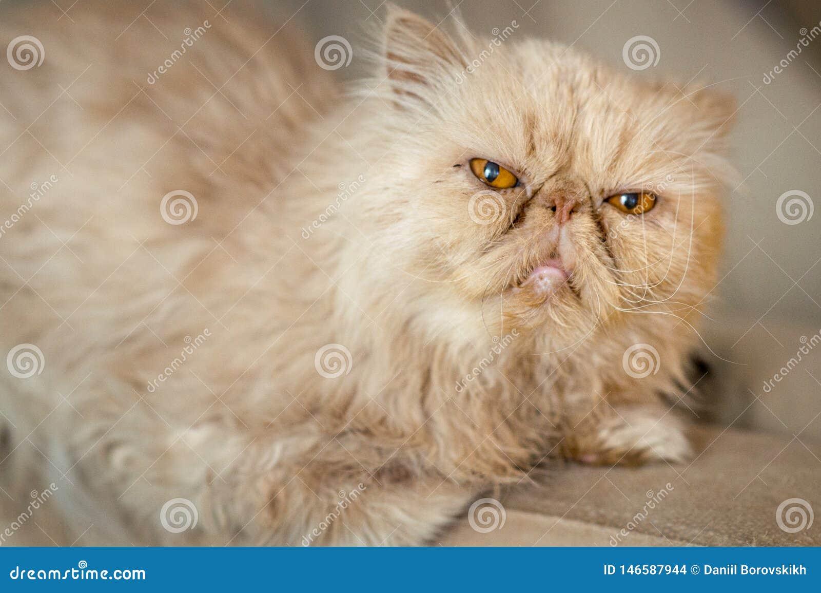 Razza persiana del gatto rosso sullo strato