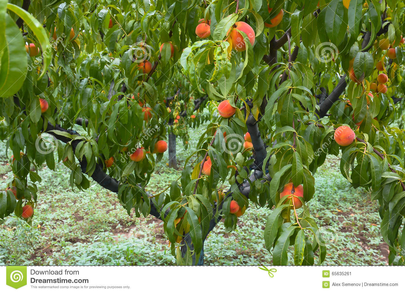 Rbol de melocot n con las frutas en el jard n foto de archivo imagen 65635261 - Pfirsichbaum im garten ...