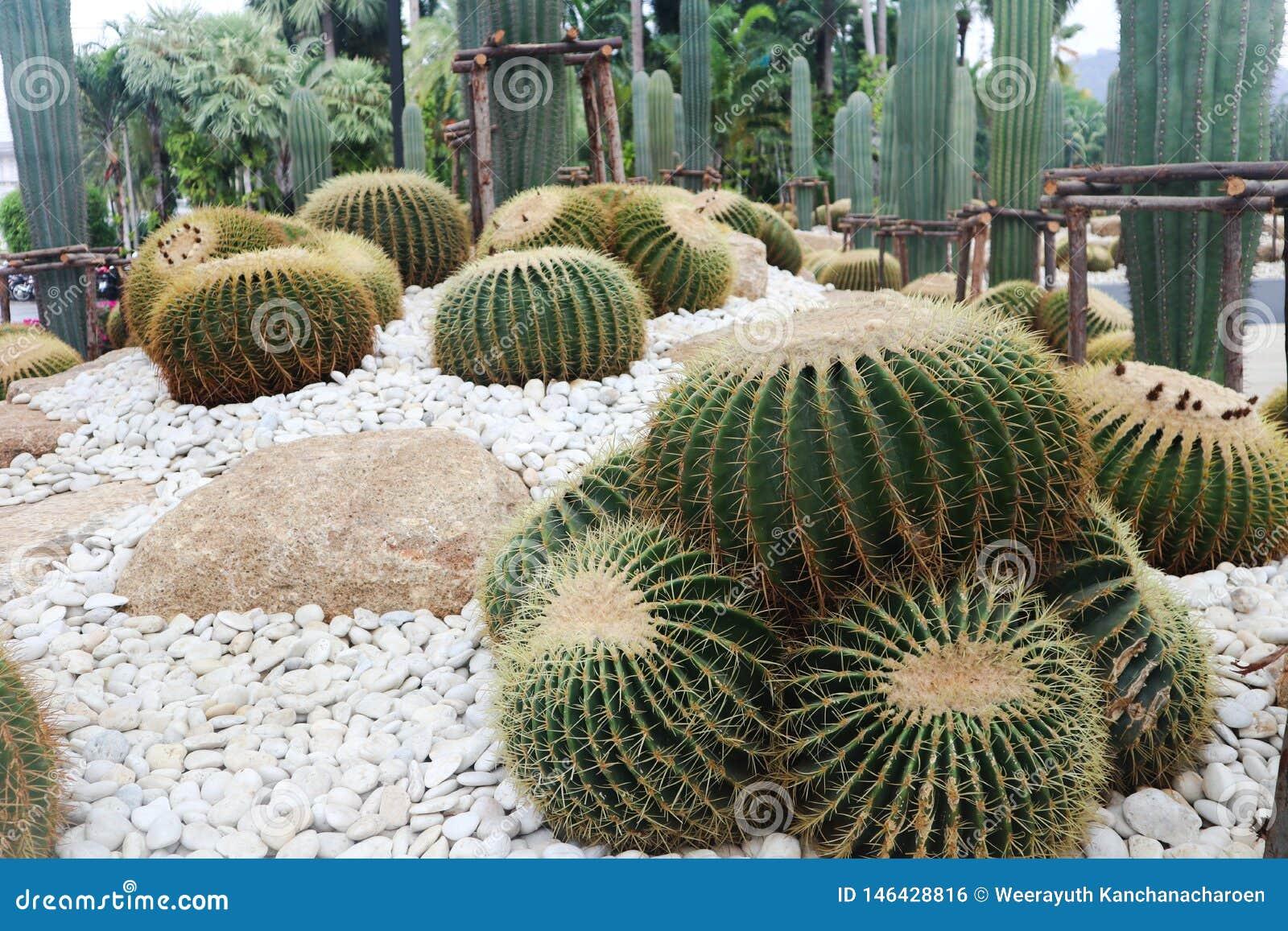 ?rbol hermoso del cactus en los jardines al aire libre y los parques