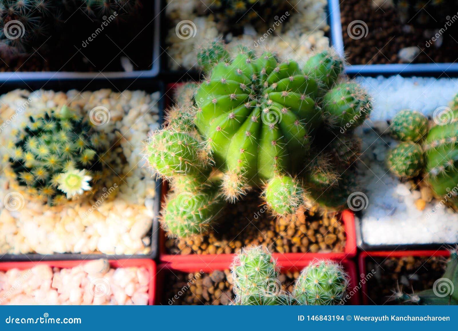 ?rbol hermoso del cactus en los jardines al aire libre y los parques p?blicos