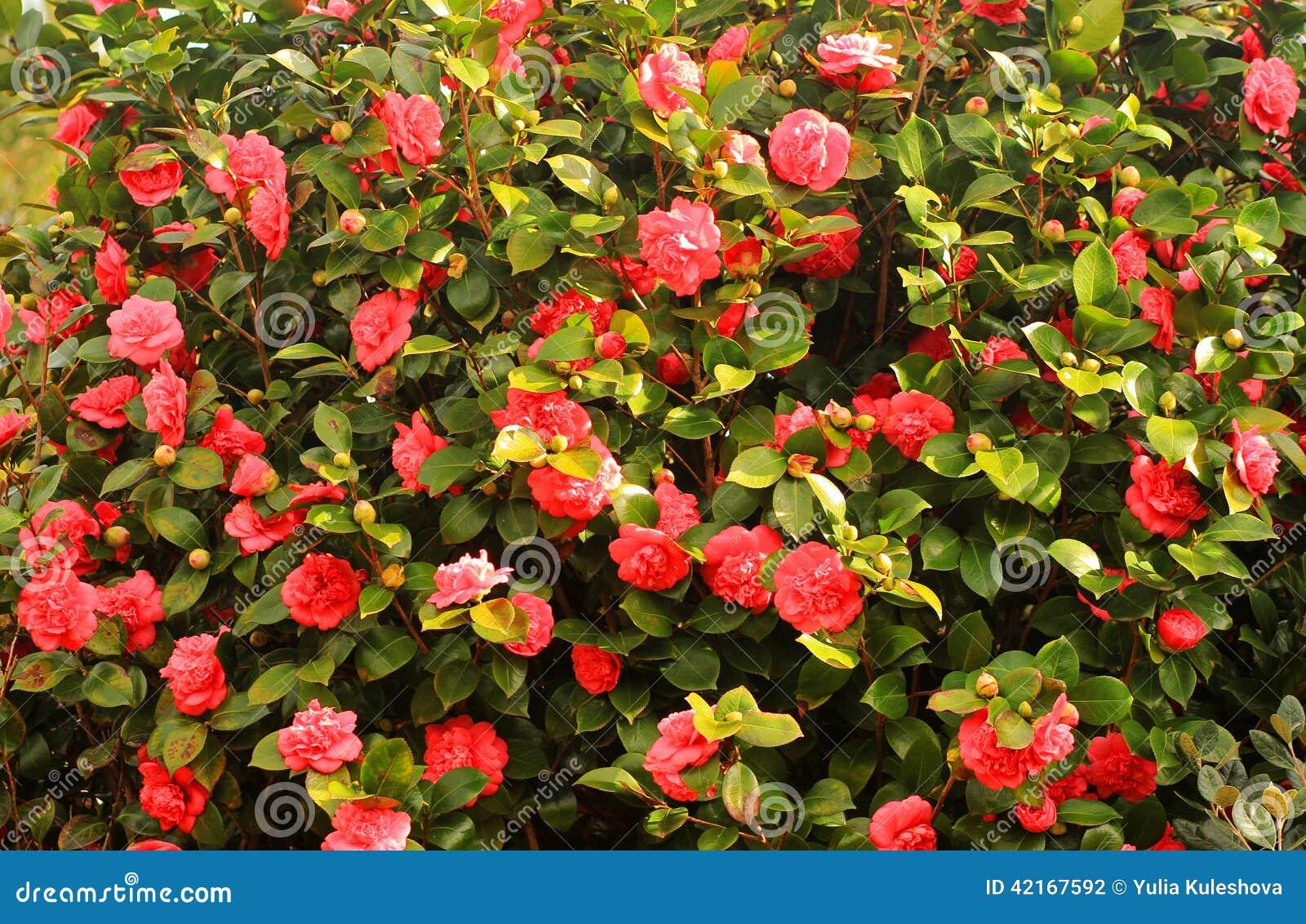 Rbol rojo floreciente de las camelias foto de archivo for Arbol rojo jardin