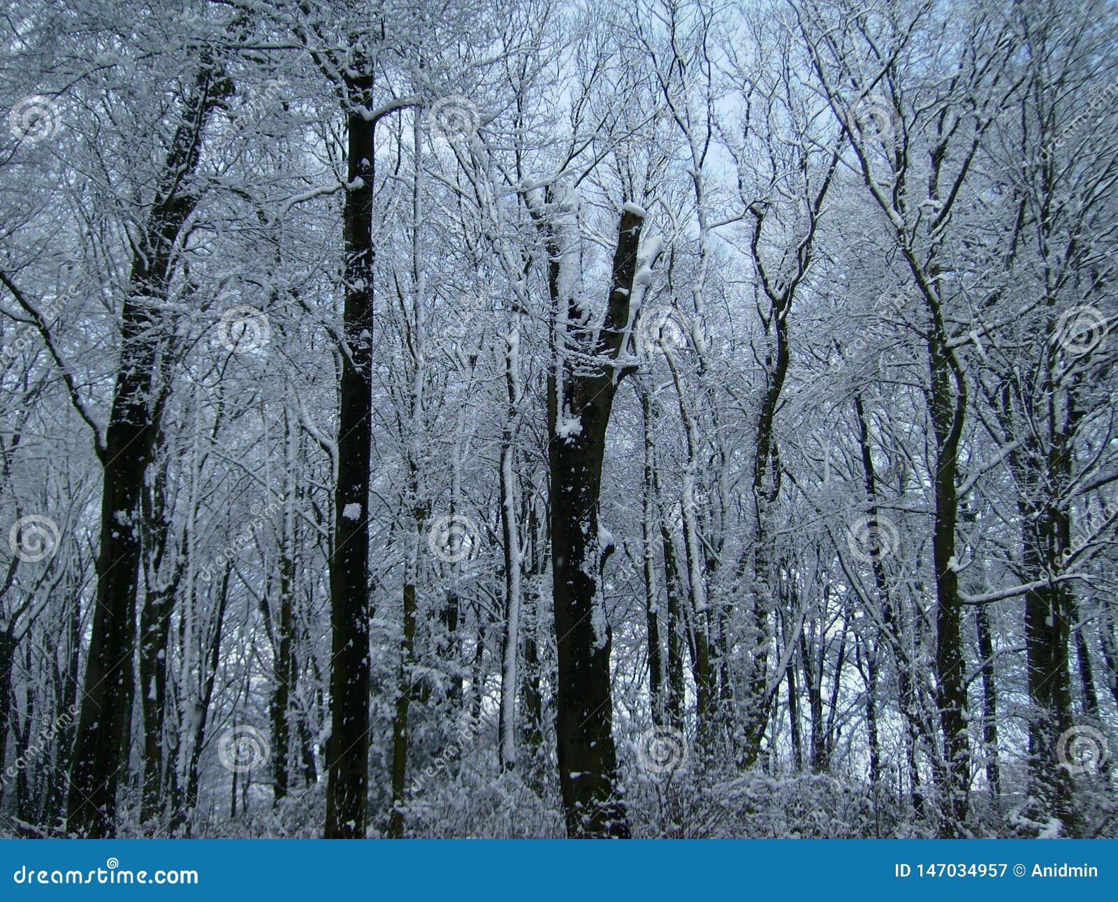 ?rboles cubiertos con nieve Bosque congelado