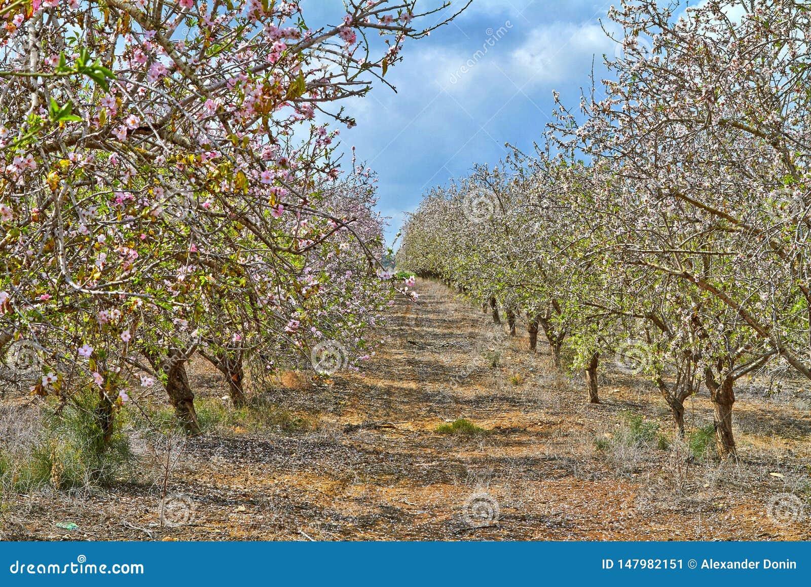 ?rboles de almendra de florecimiento en el campo