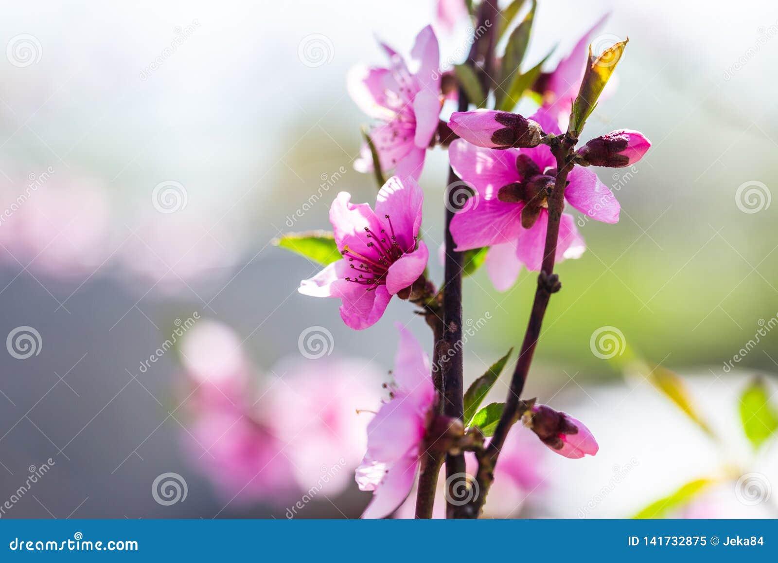 ?rboles de melocot?n florecientes hermosos en primavera en un d?a soleado foco suave, falta de definici?n natural