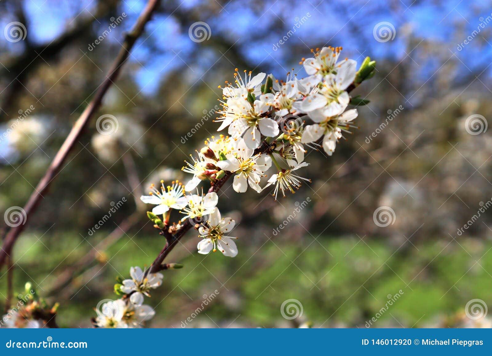?rboles florecientes amarillos y blancos rojos hermosos delante de un cielo azul visto en Alemania