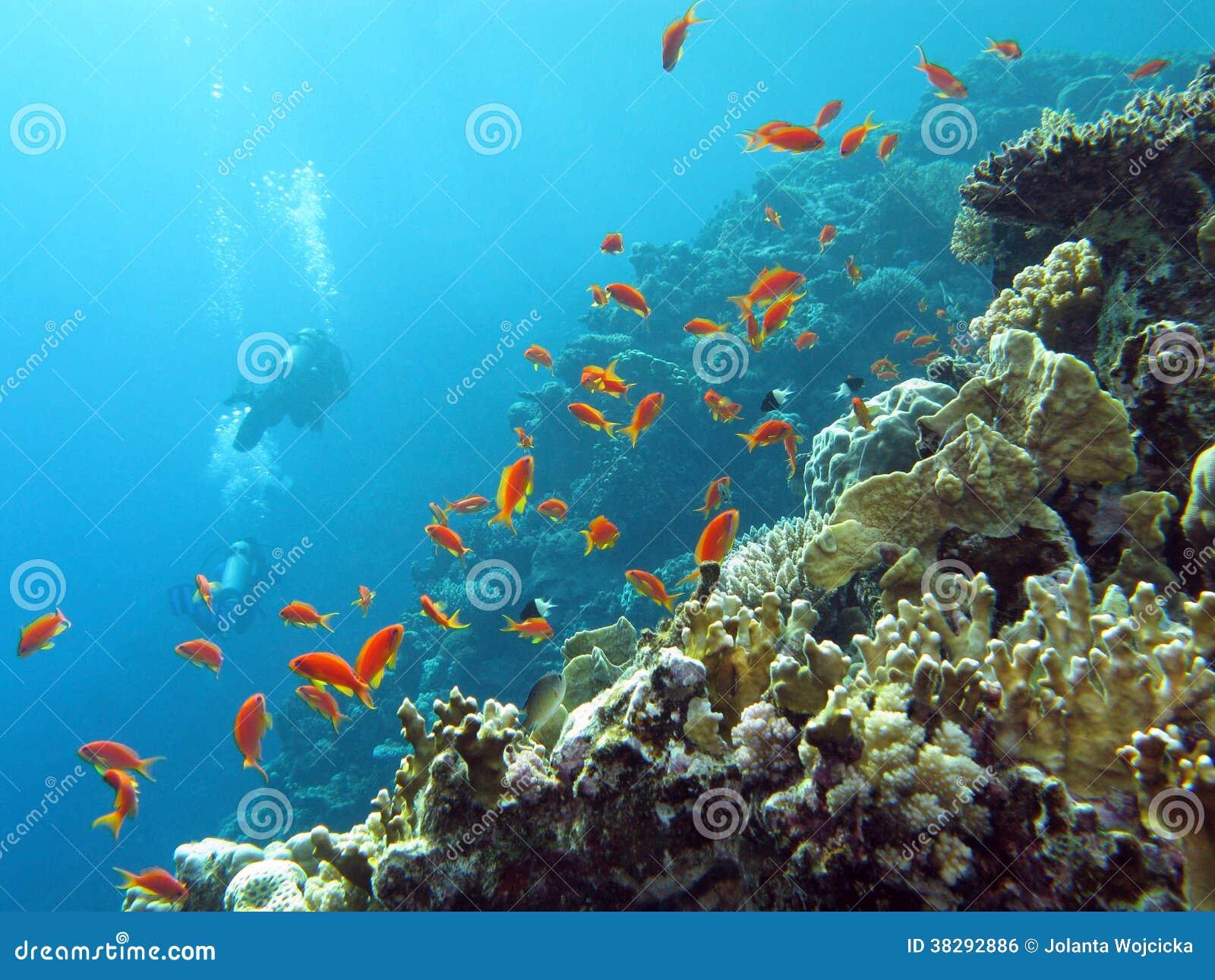 r cif coralien avec des plongeurs et des anthias exotiques de poissons au fond de la mer. Black Bedroom Furniture Sets. Home Design Ideas