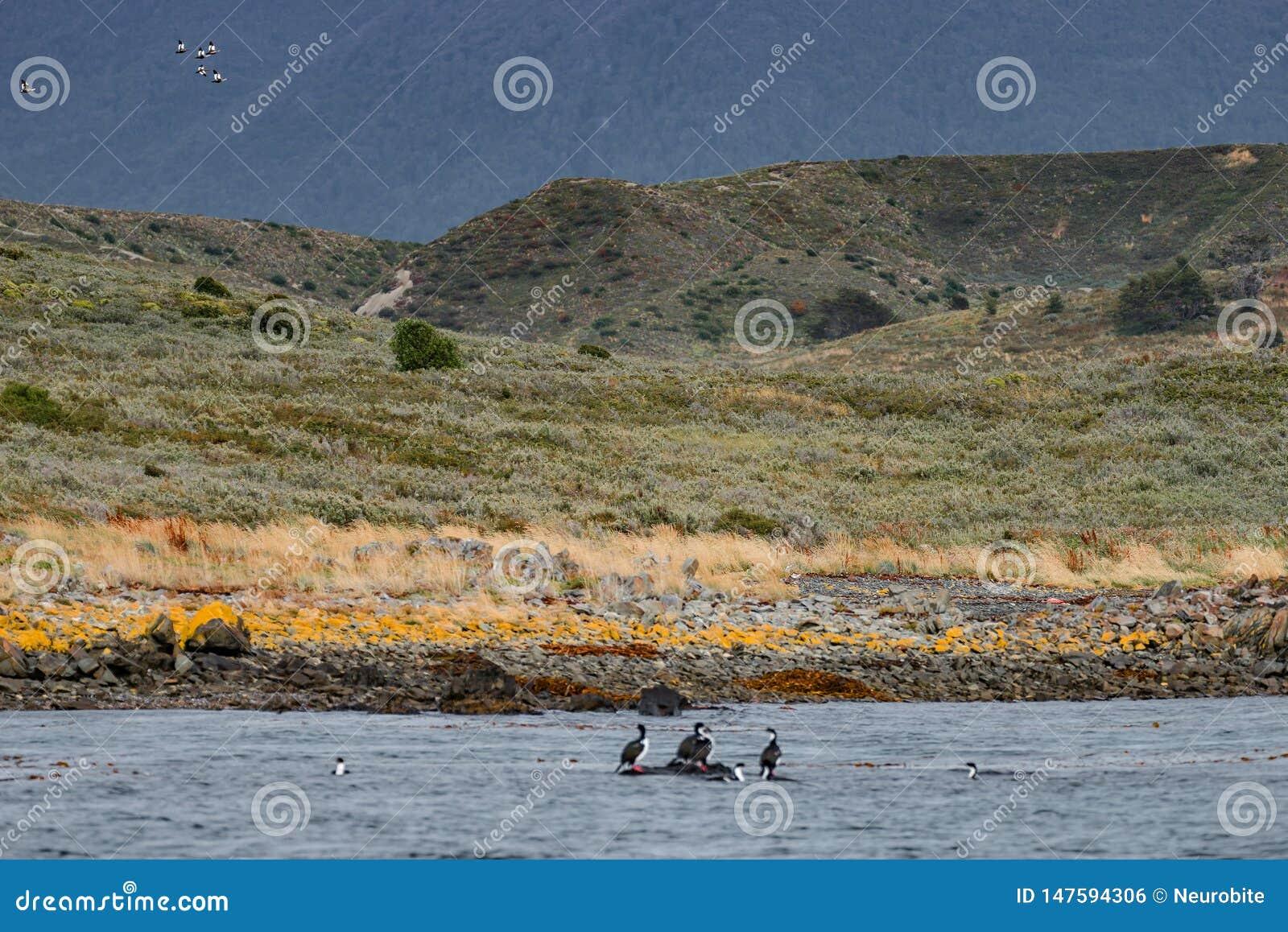 Re Cormorants e foreste e baie variopinte magiche di favola a Tierra del Fuego National Park, Manica del cane da lepre, Patagonia