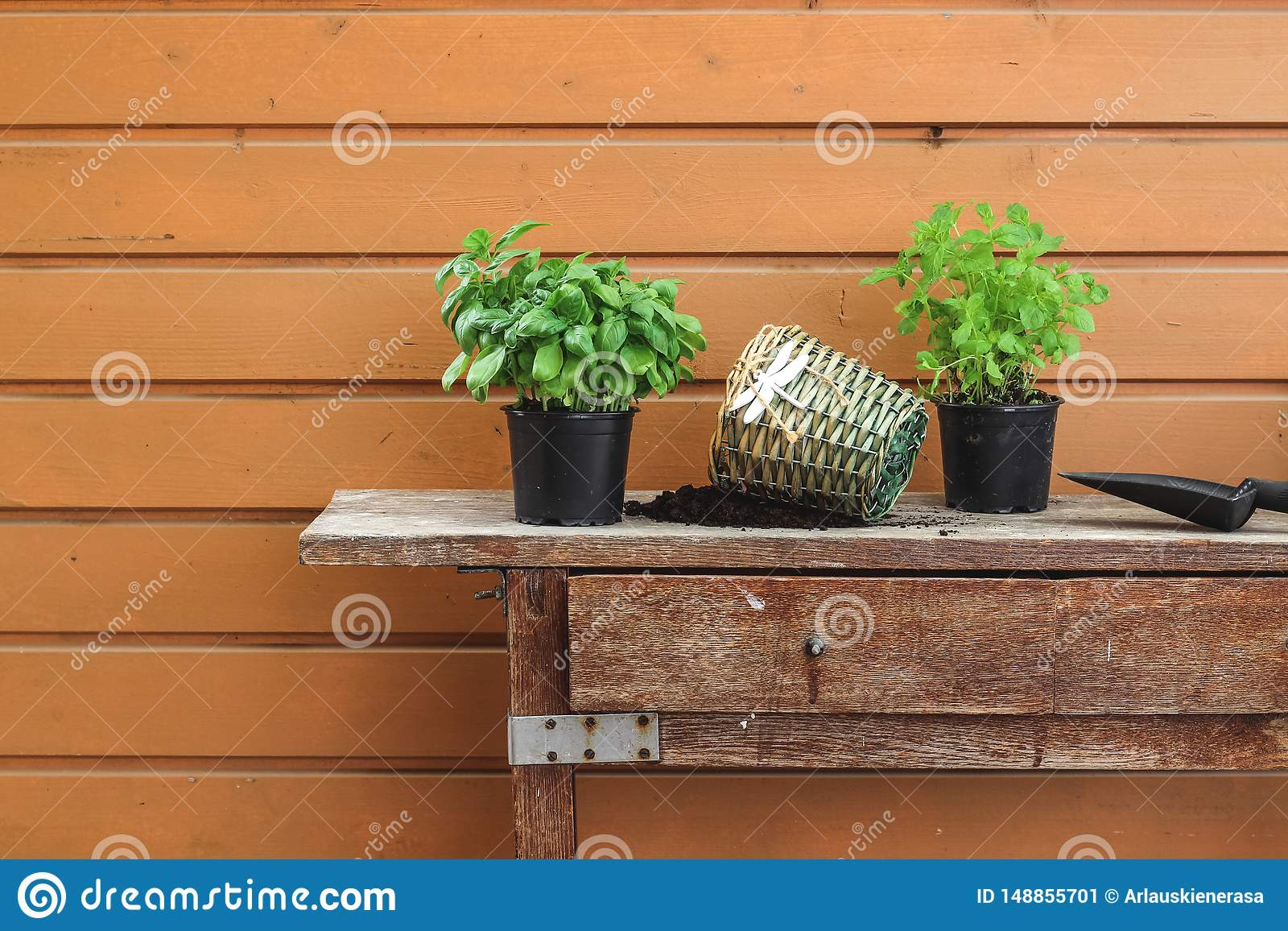 Re-potting herbs on an old garden table in spring
