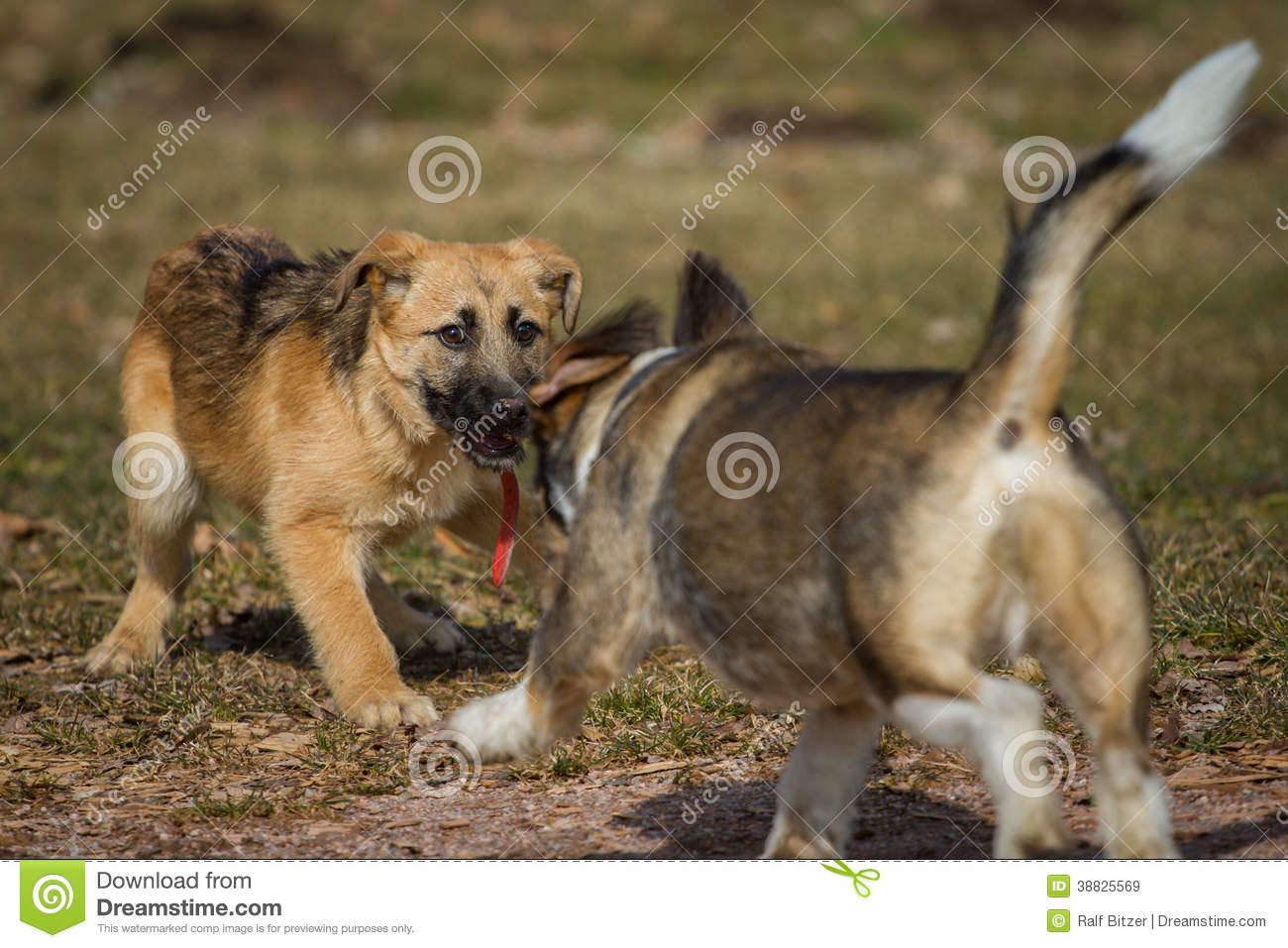 Dachshund German Shepherd Mix Puppies A a german shepherd puppy