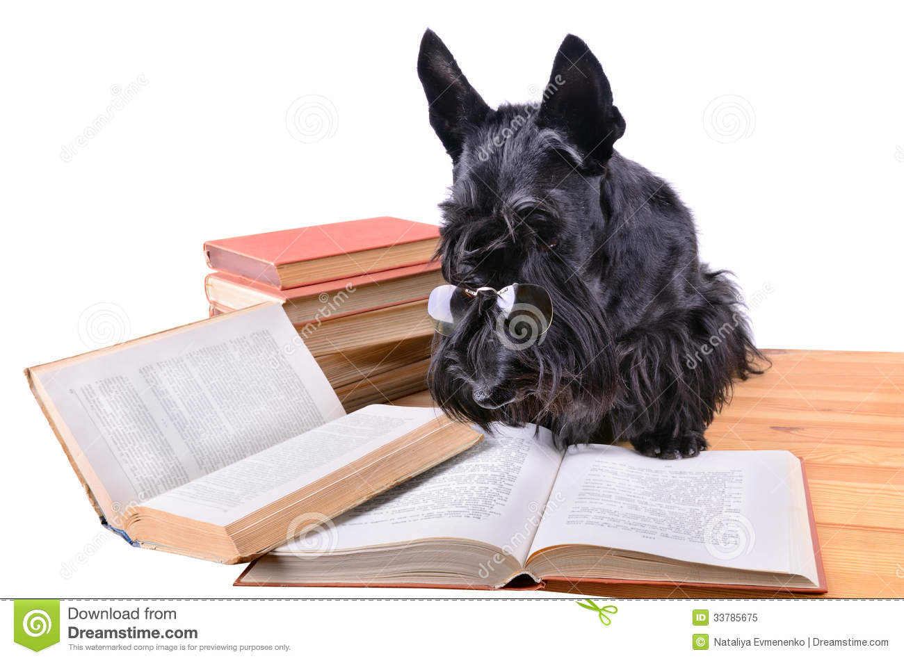 Black scotch terrier in glasses reads a books on a white background.
