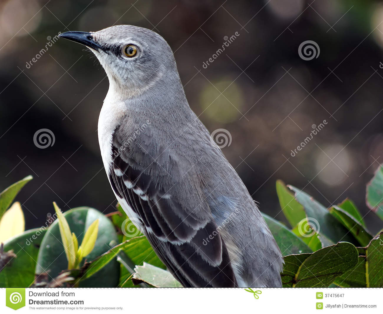 Closeup Florida State Bird Northern Mockingbird