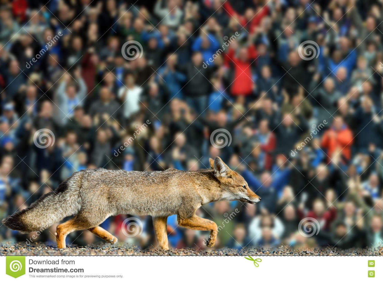 Real Fox Leicester City Football Club Wallpaper Stock