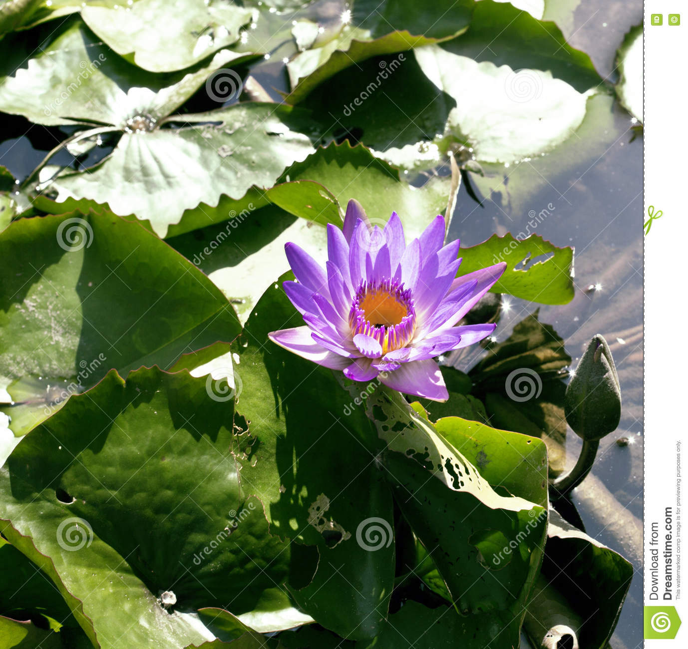 Real Lake With Lotus Flowers Wild Nature Oriental Stock Photo