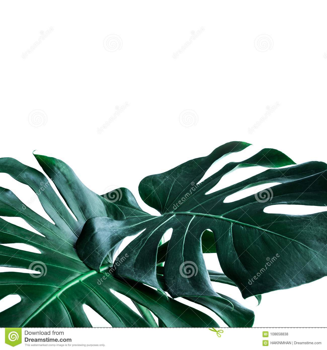 Real monstera leaves decorating for composition design.Tropical,botanical nature concepts