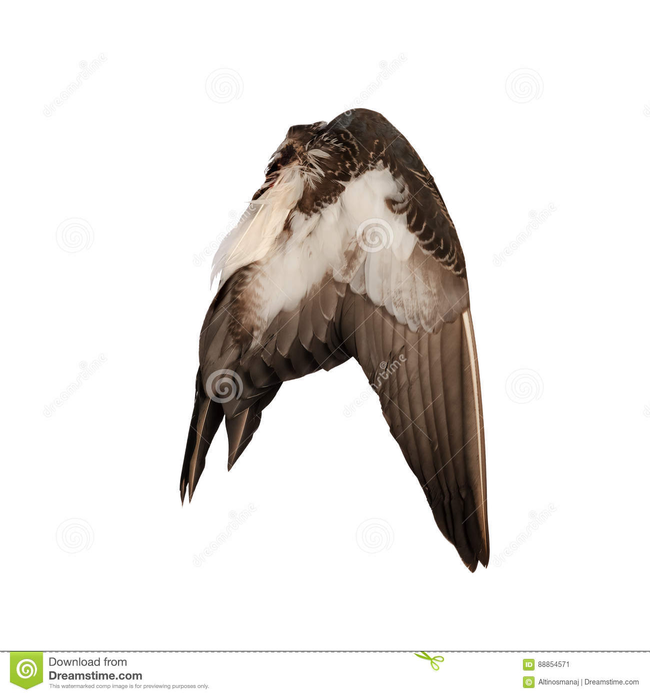 Real Wild Duck Bird Wing Angel Brown White Background Stock Image ...
