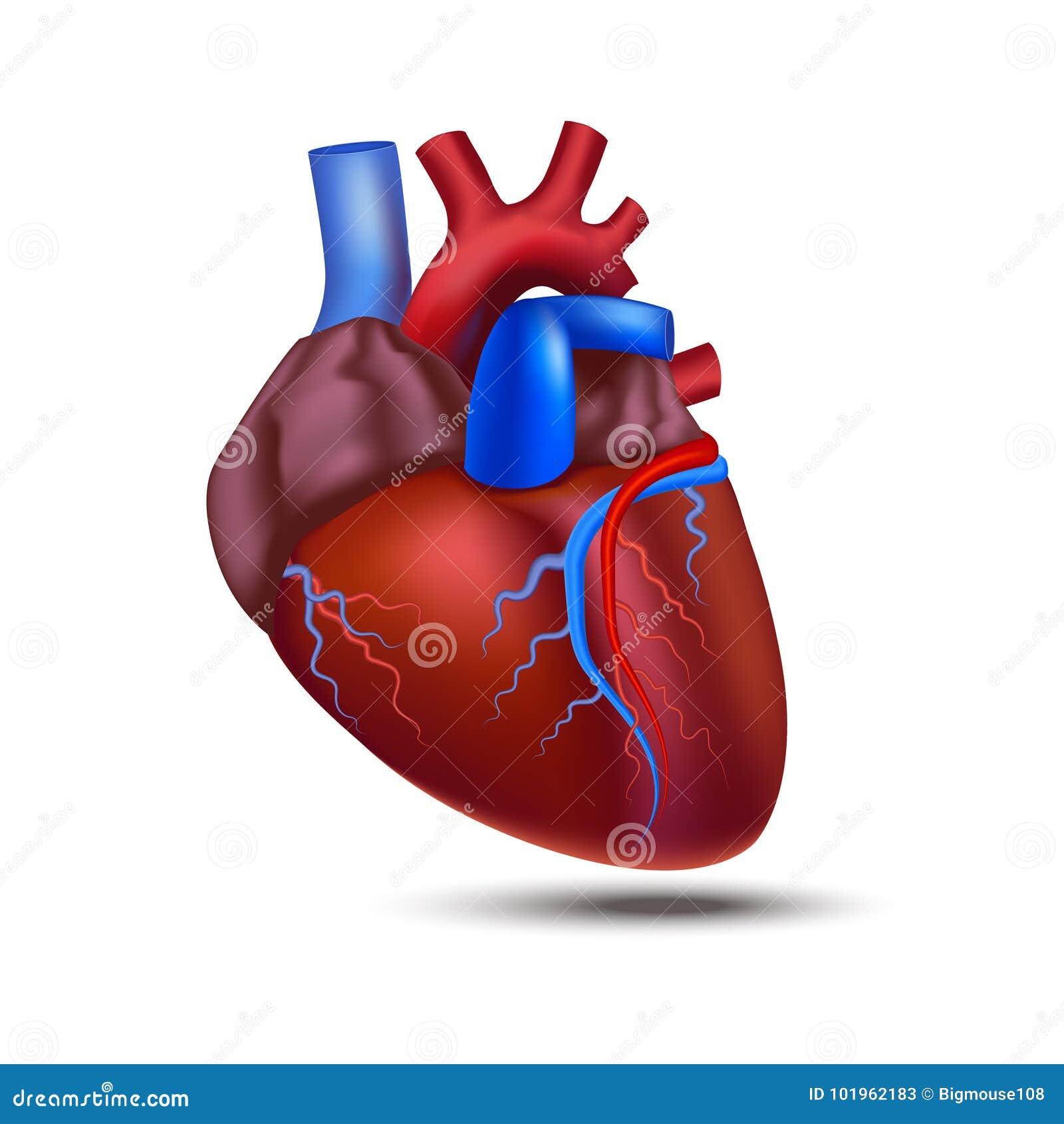 Realistic Detailed 3d Human Anatomy Heart Vector Stock Vector