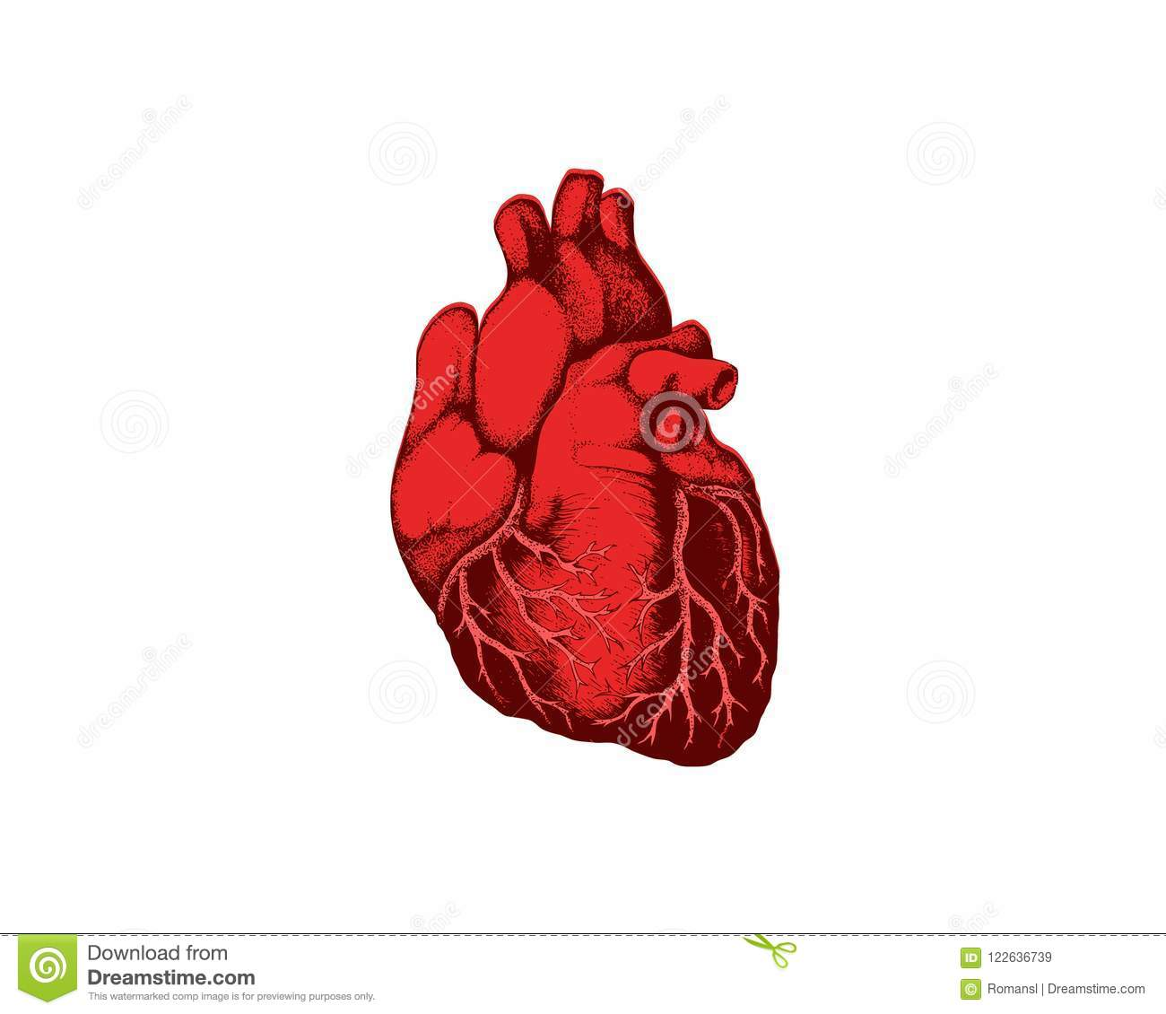 Realistic Detailed Human Anatomy Heart Closeup View Cardiovascular ...