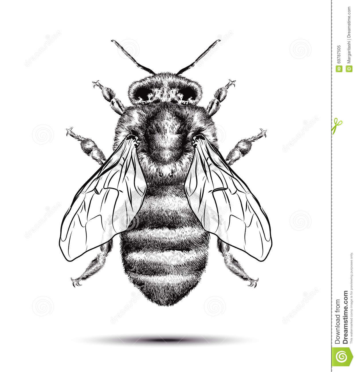Realistic Honey Bee Isolated On A White Background Black