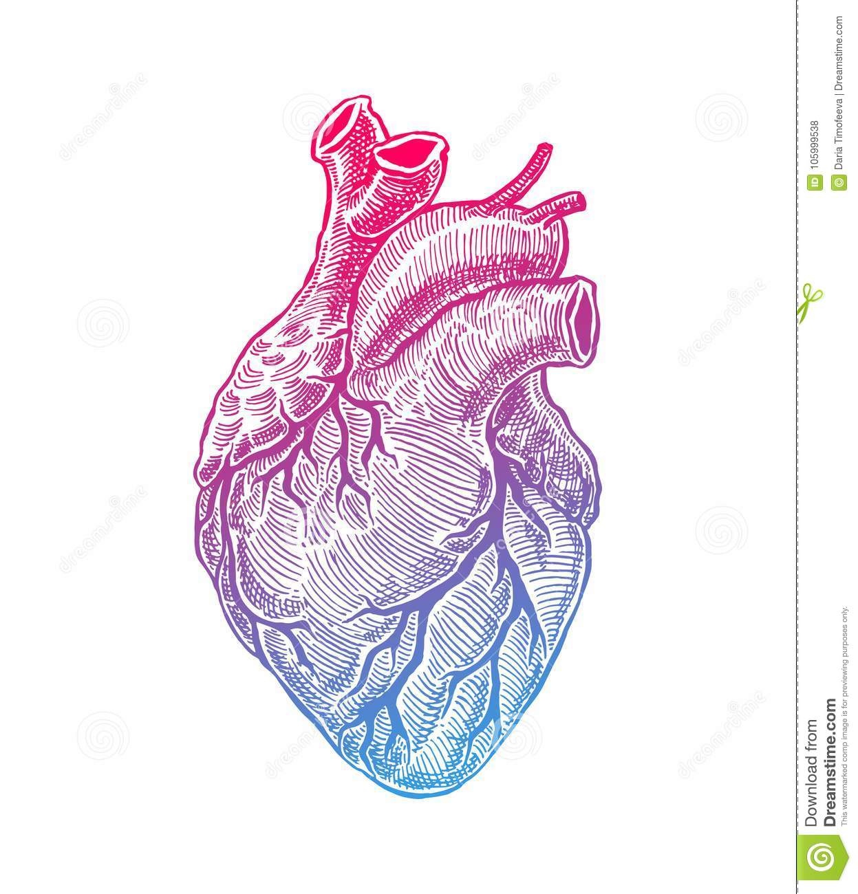 Realistic Human Heart stock vector. Illustration of graphic - 105999538