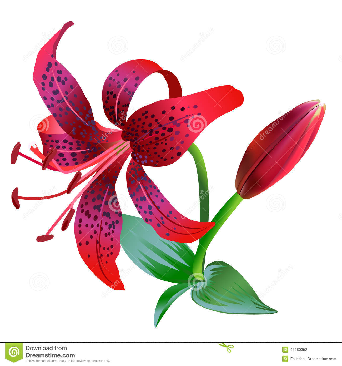 Realistic illustration of red tiger lily isolated on white realistic illustration of red tiger lily isolated on white background izmirmasajfo Images