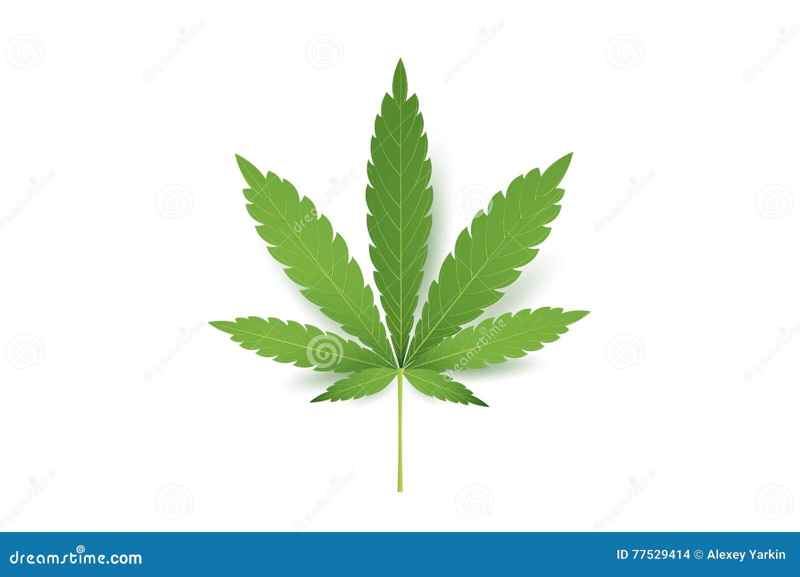 cannabis leaf vector  green cannabis cannabis sativa or