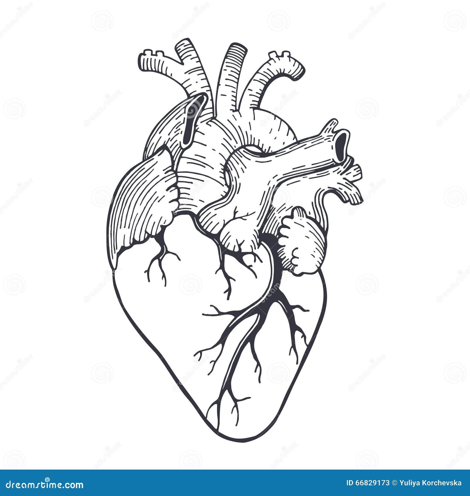Simple Heart Line Art : Realistic sketch illustration stock vector image